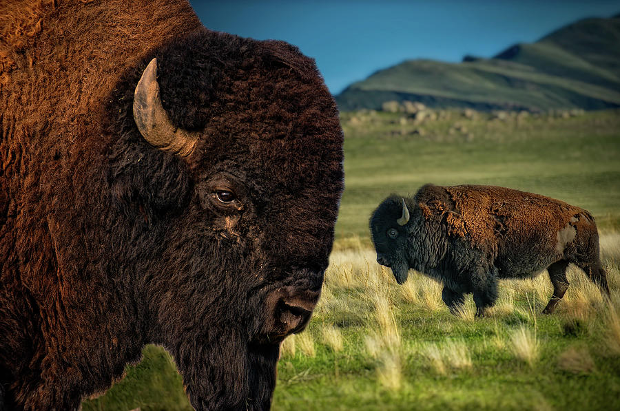 Nature Photograph - Bison On The Plain by Paul W Sharpe Aka Wizard of Wonders