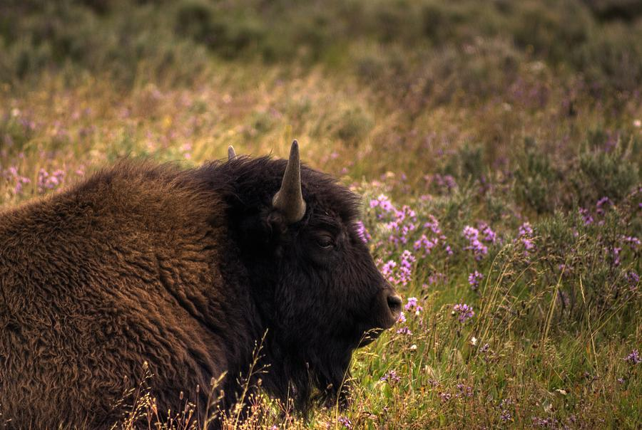 Bison Photograph - Bison by Patrick  Flynn