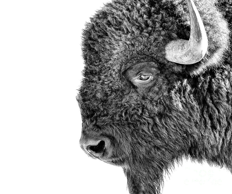 Bison Portrait by Al  Mueller