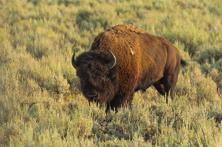 American Bison Photograph - Bison by Sebastian Musial