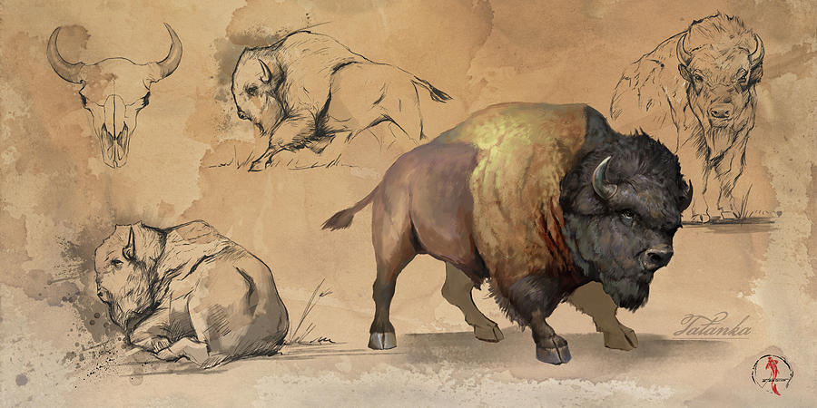 Bison Study Sheet by Steve Goad