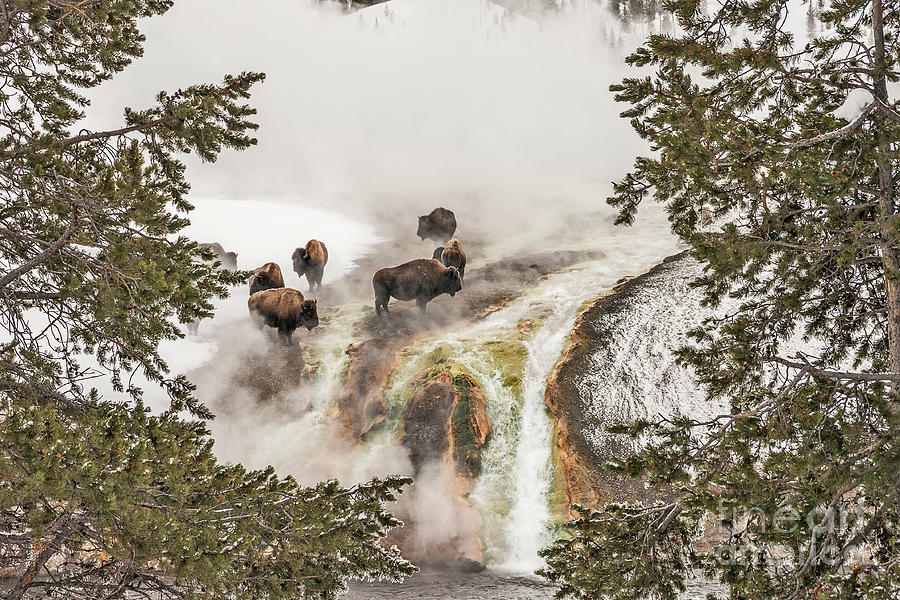 Bison Taking a Steam Bath by Sue Smith