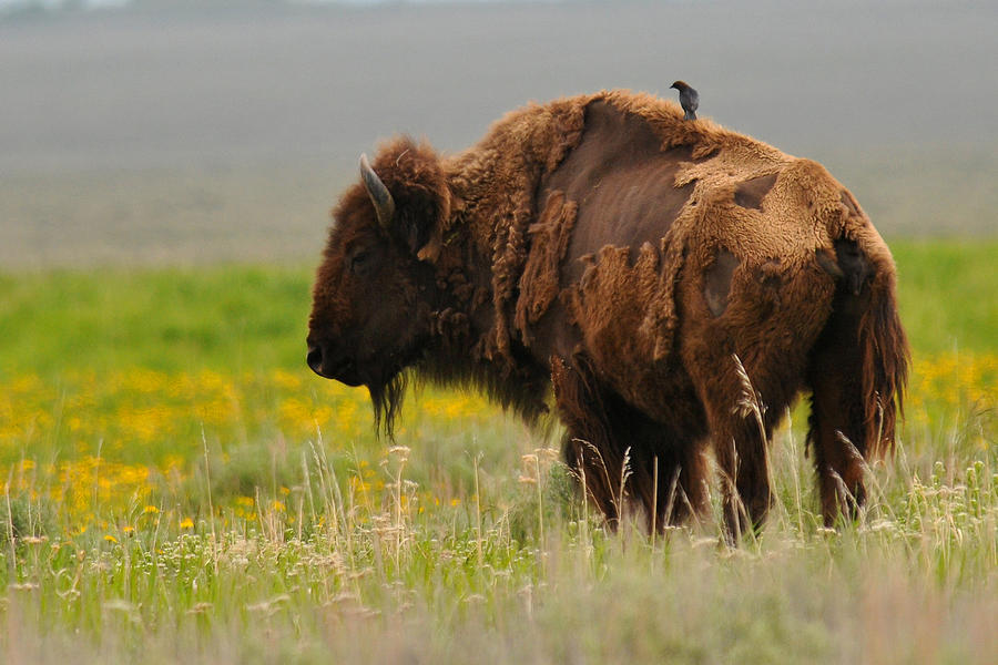 Bison Photograph - Bison With Cowbird On Back by Alan Lenk