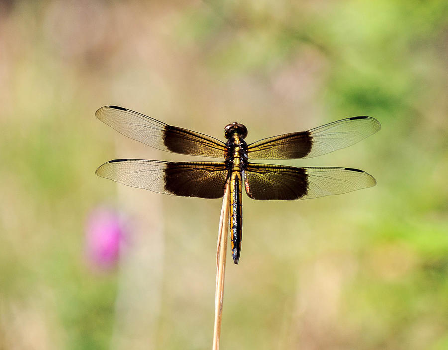 Dragonflies Photograph - Black And Gold Dragonfly by Dennis Wells
