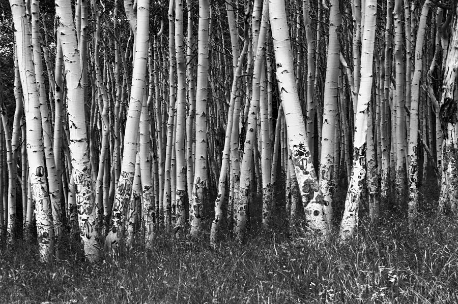 Black and White Aspens by Harold Stinnette
