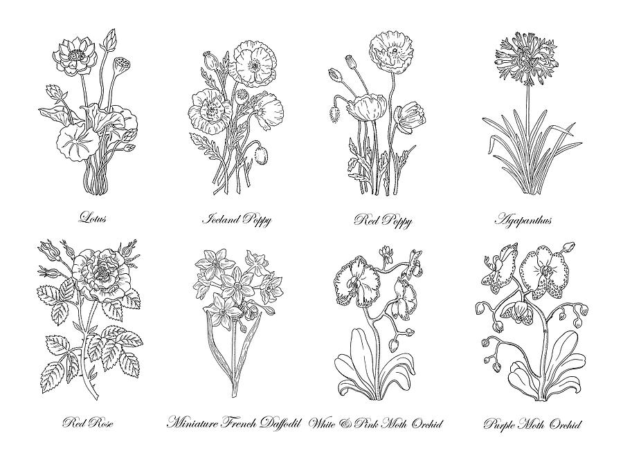 Black and white botanical flowers drawing drawing by irina sztukowski lotus drawing black and white botanical flowers drawing by irina sztukowski mightylinksfo