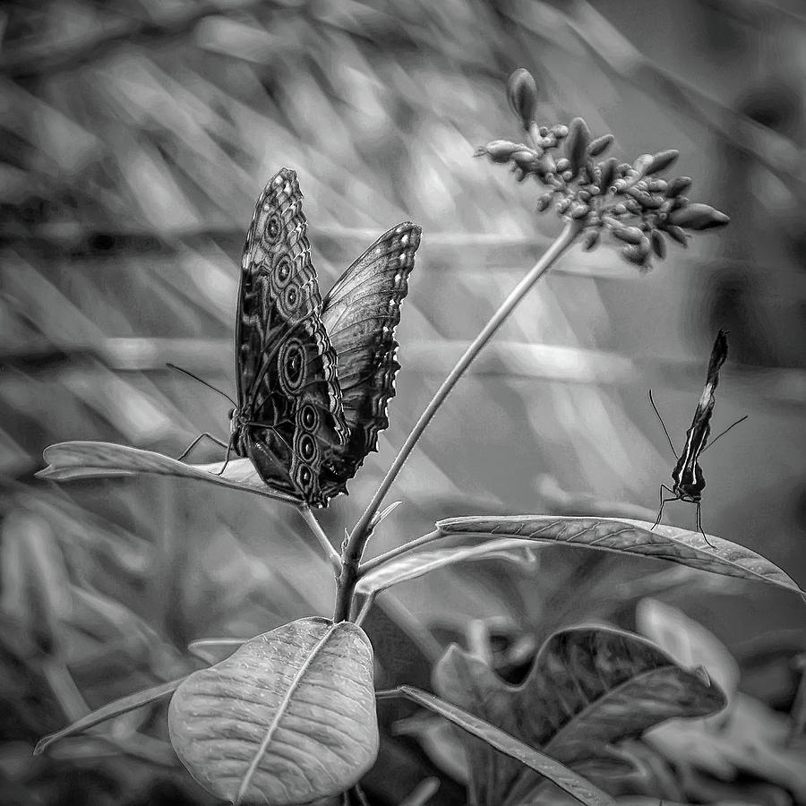 Black and white butterflies on leaves by aimee l maher alm gallery