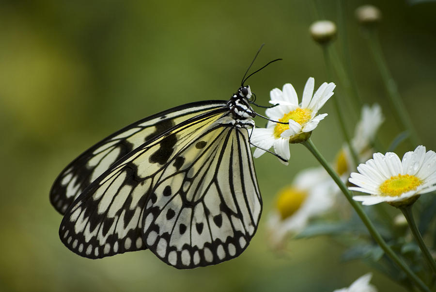 Pattern Photograph - Black And White Butterfly On A Daisy by Pixie Copley