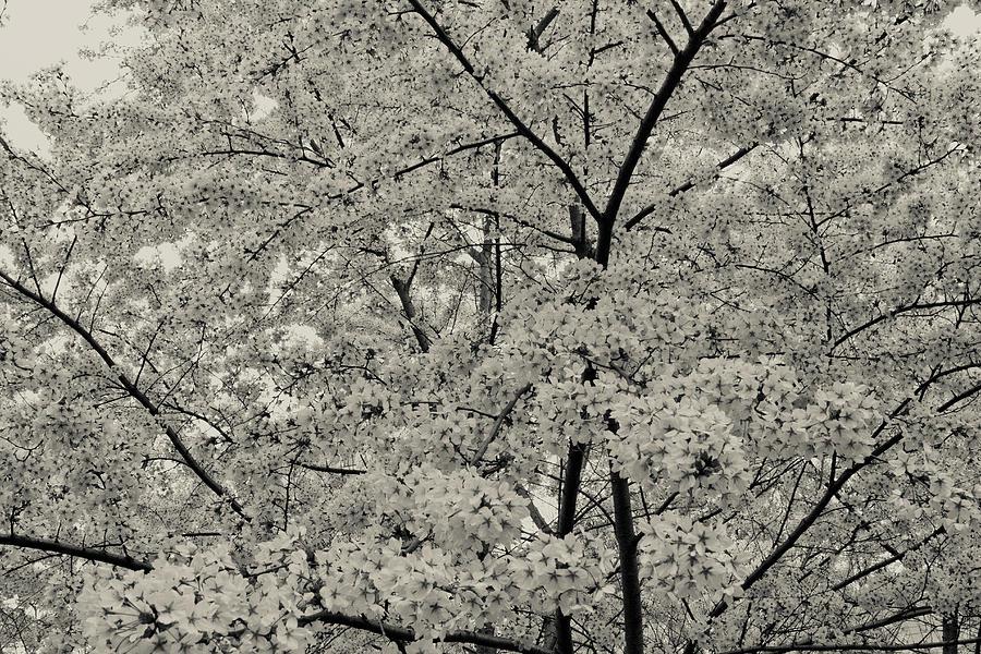 Black And White Cherry Blossoms Photograph by Ariane Moshayedi
