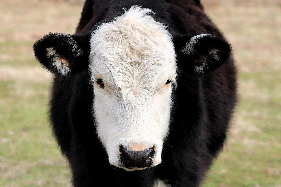 black and white cow face photograph by kay mott