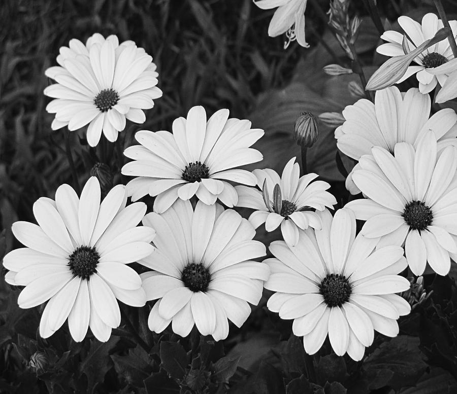 black and white daisy garden photograph by tony grider