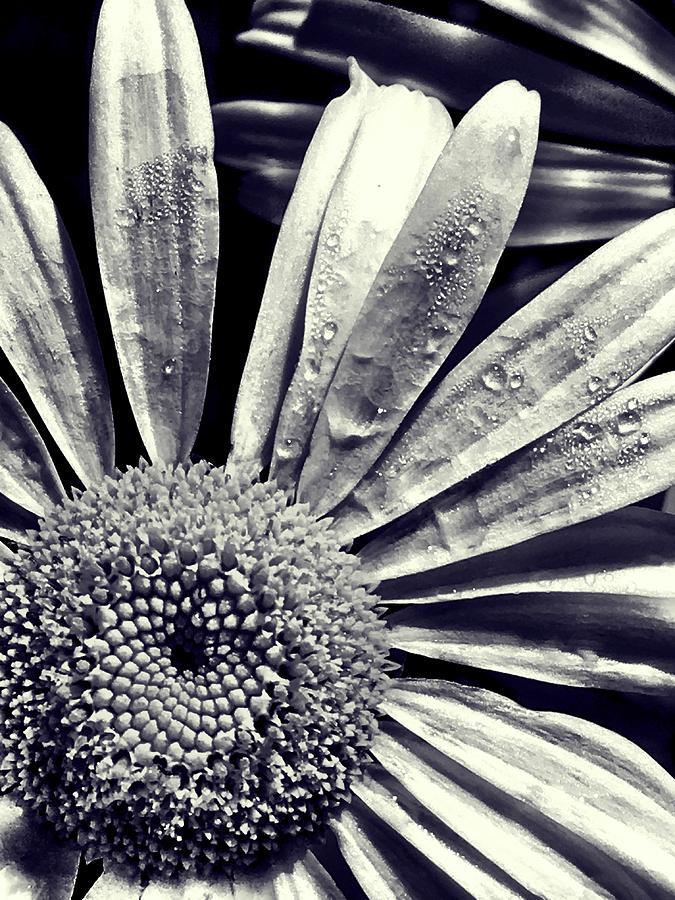 Daisy Photograph - Black And White Daisy  by Kat J