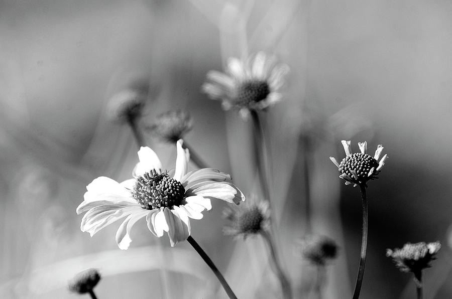 Black and white desert daisy photograph by christina camarena flowers photograph black and white desert daisy by christina camarena mightylinksfo