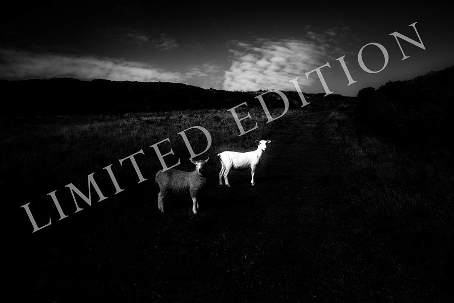 Sheep Photograph - Black And White by Dorit Fuhg