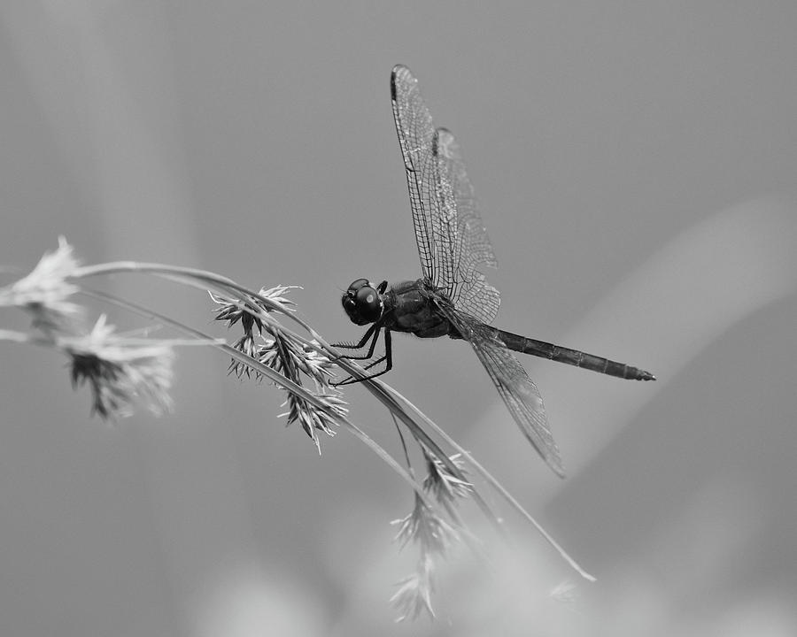 Black and White Dragonfly by Ann Keisling
