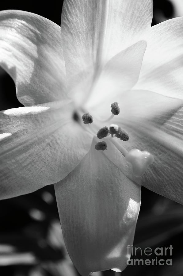 Lily Photograph - Black And White Easter Lily by Megan Cohen