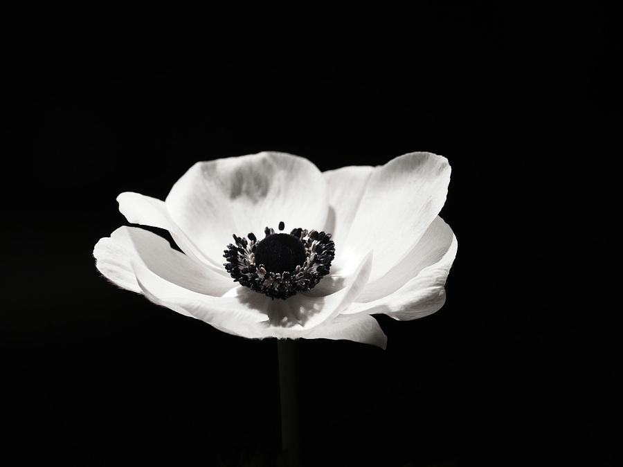 Black and white flower photograph black and white flower art anemone by wall art