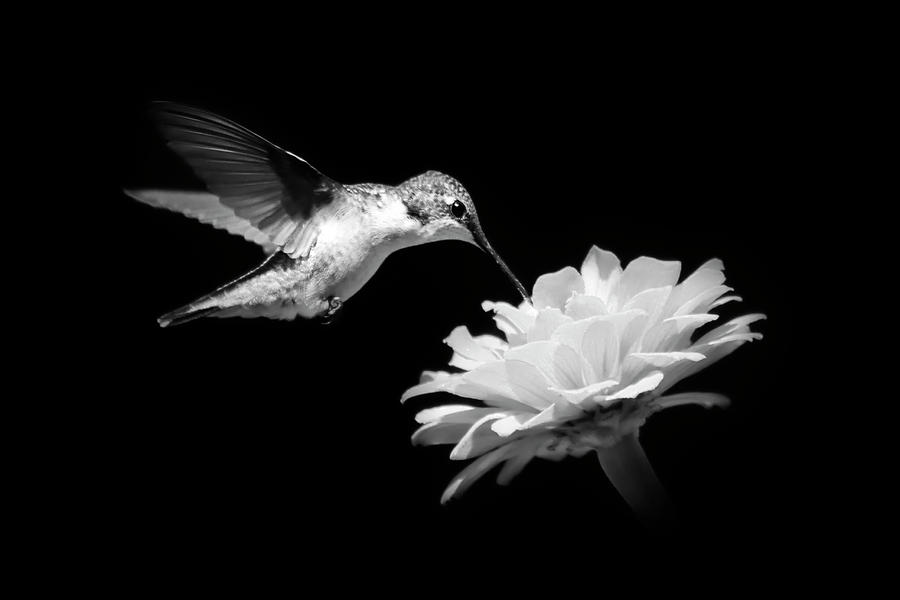 Black and white hummingbird and flower photograph by christina rollo black and white photograph black and white hummingbird and flower by christina rollo mightylinksfo