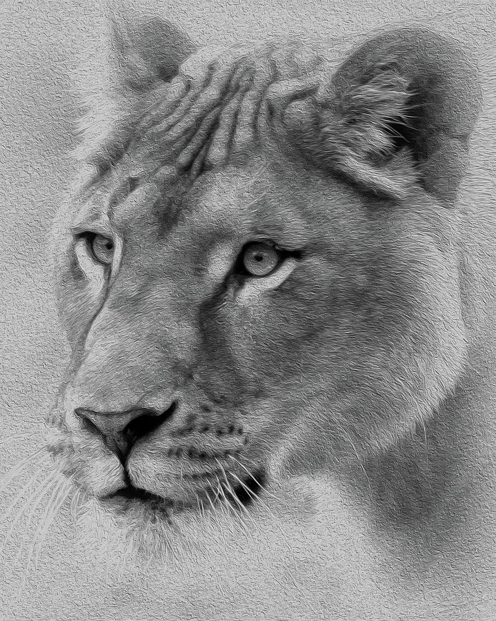 Black And White Lioness Mixed Media