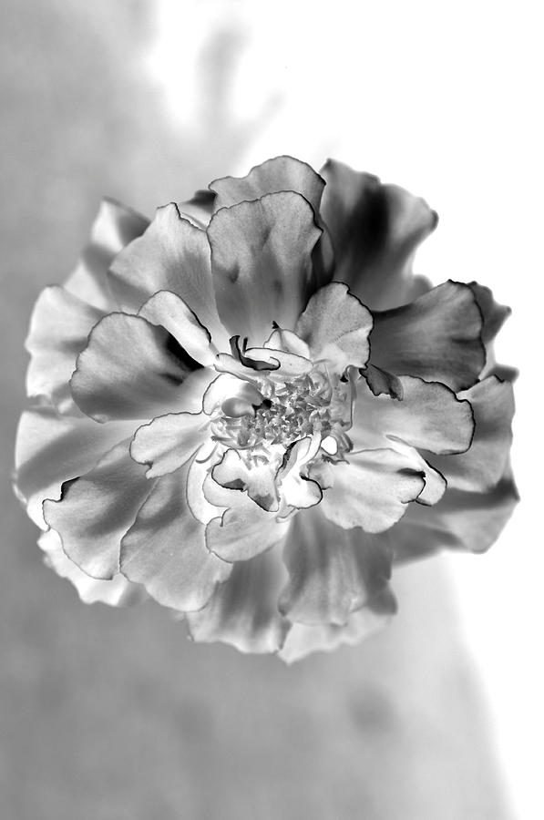Macro Lens Photograph - Black And White Marigold by Christine Ricker Brandt