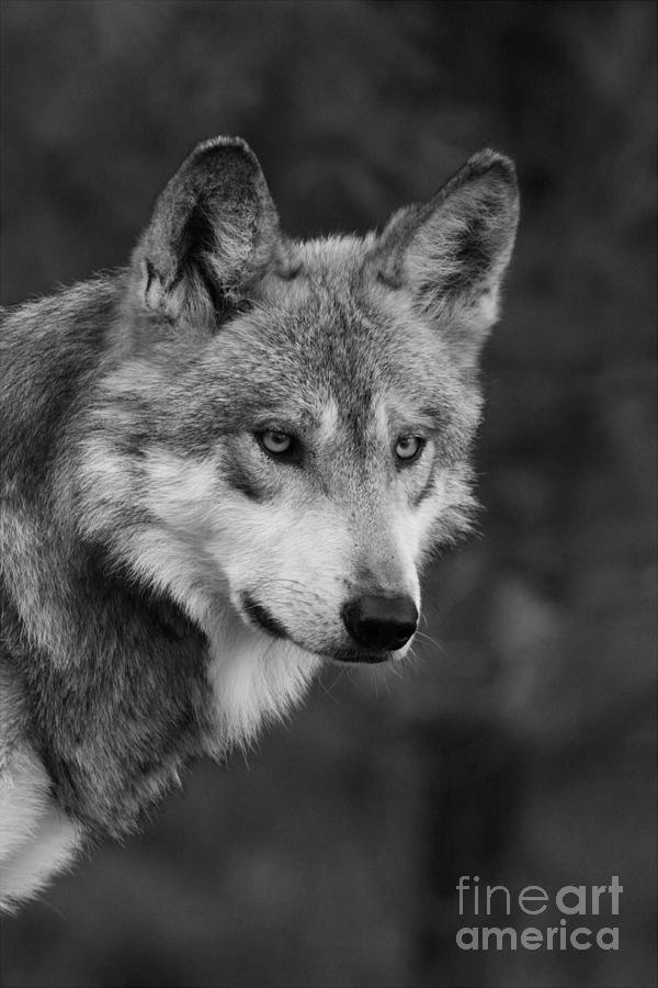 The Black and White Wolf. Photomanipulation. by laluna19 ... |White Wolf And Black Wolf Art