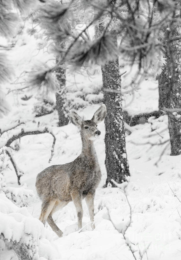 Black And White Mule Deer In Heavy Snowfall Photograph