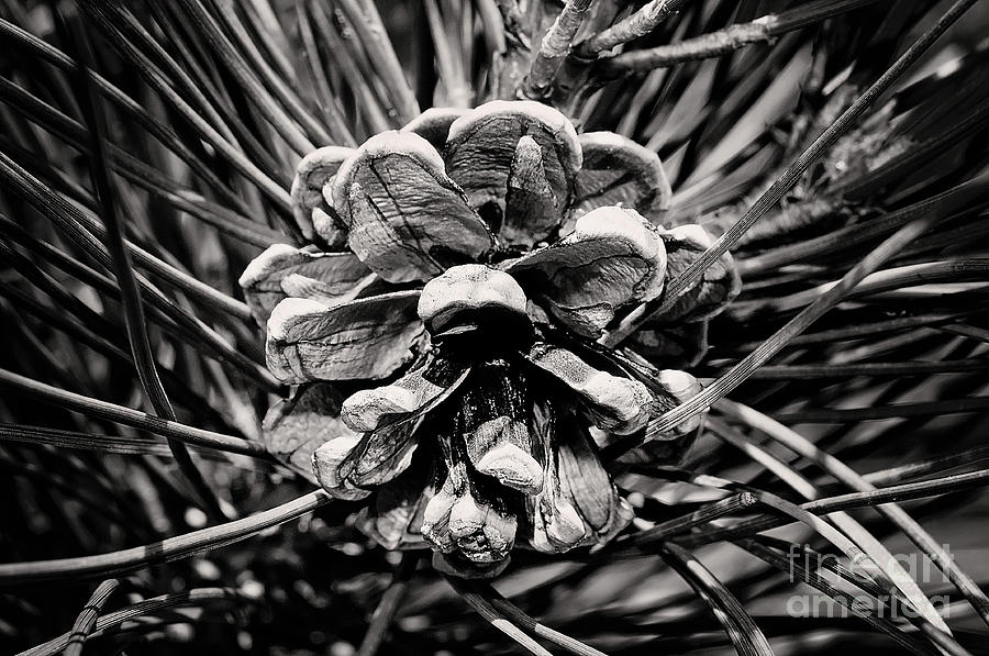 Black And White Pine Cone Wall Art Photograph by Gwen Gibson