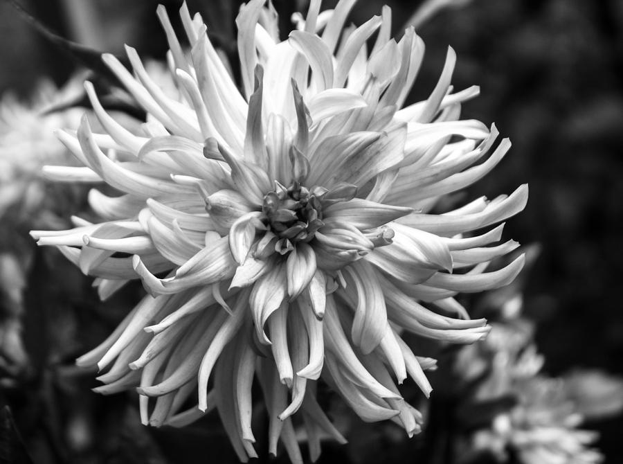 Black And White Ragged Dahlia by Arlene Carmel