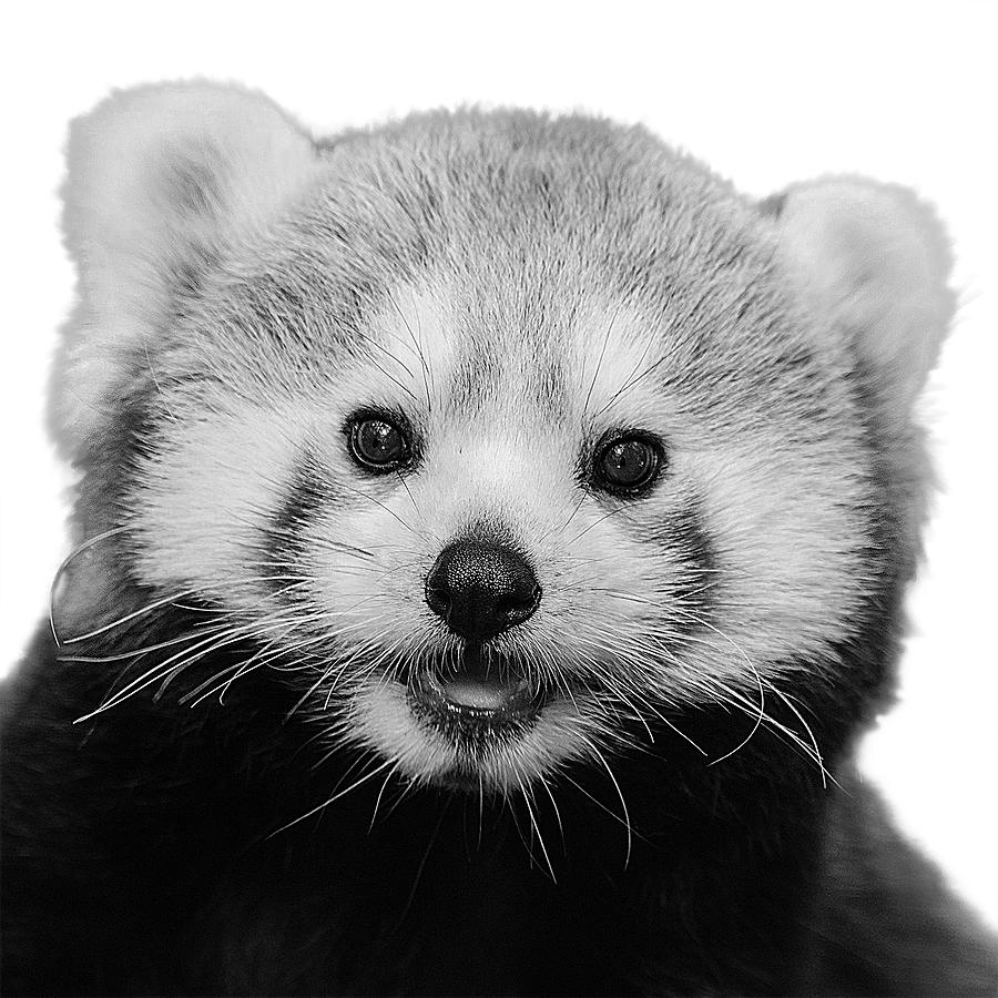 Black And White Red Panda With White Background by Mustapha Dazi