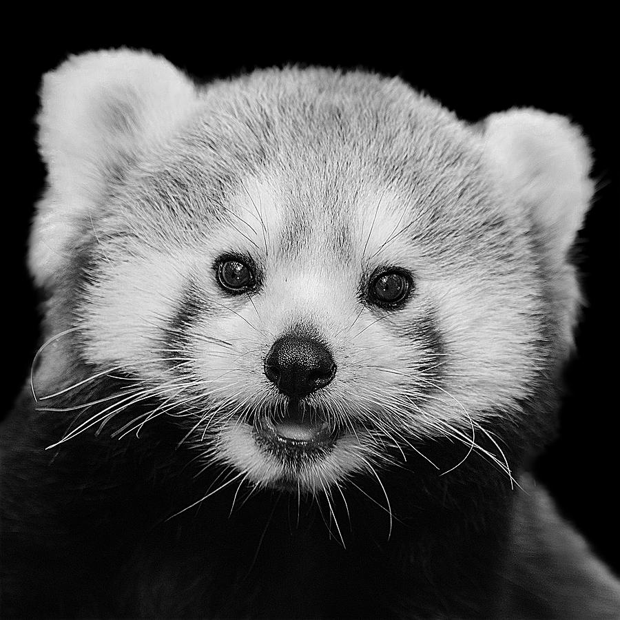Black And White Red Panda With Black Background by Mustapha Dazi