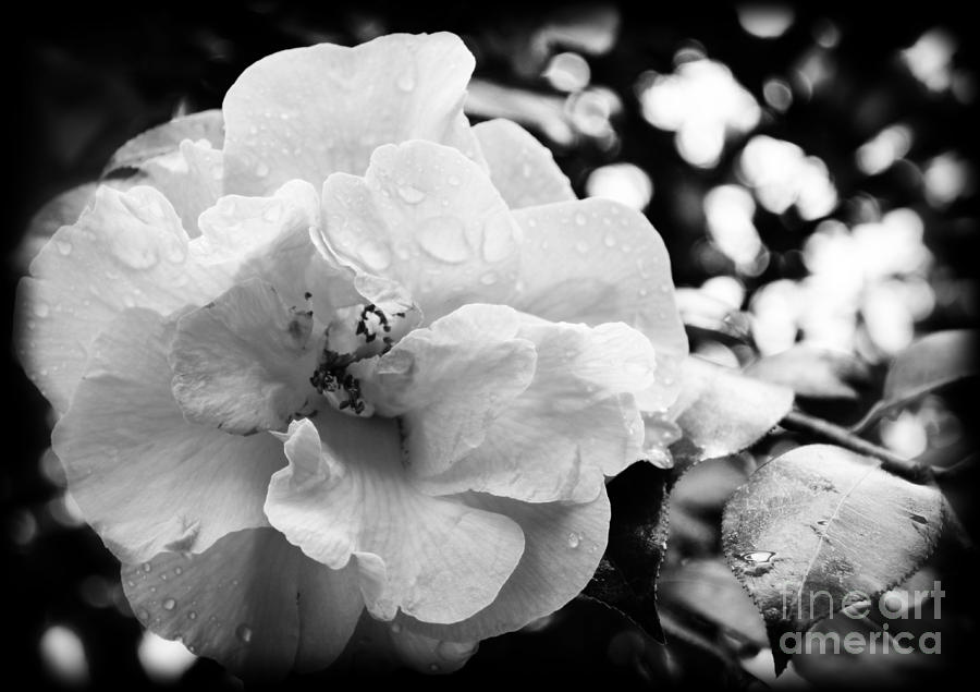 Botanical Photograph - Black And White Rose Of Sharon by Eva Thomas