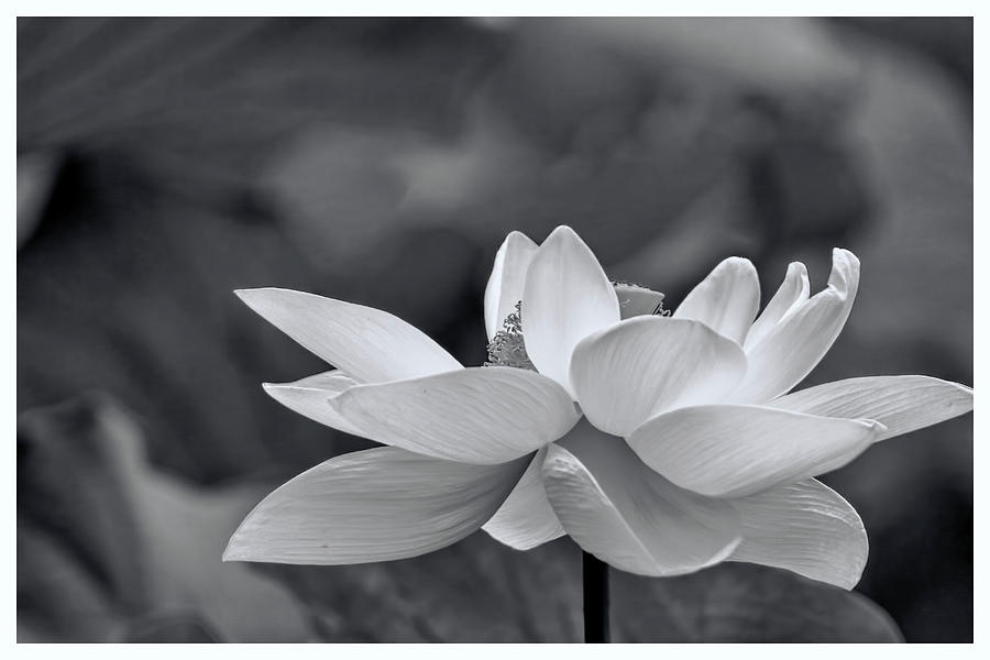 Black And White Sacred Lotus In White Frame Photograph