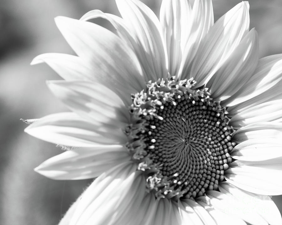 Black And White Sunflower Photograph By Centre Art Gallery By