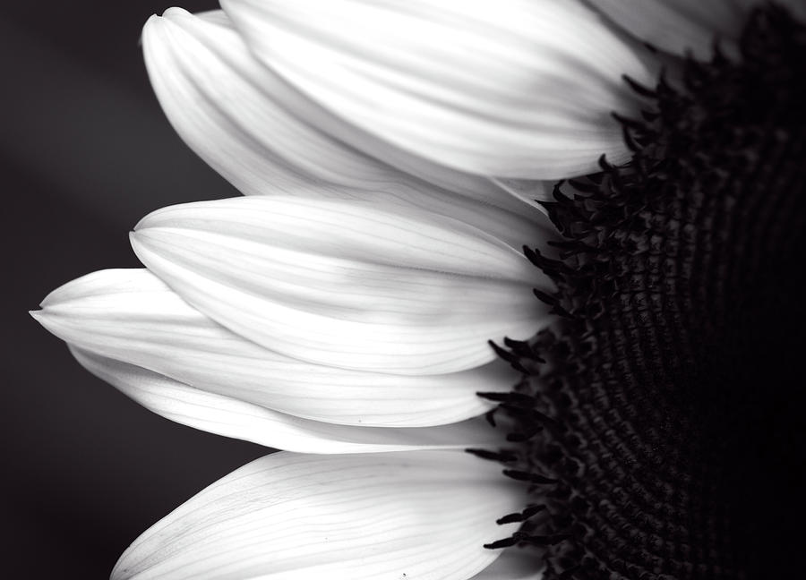 Black and White Sunflower by Garvin Hunter