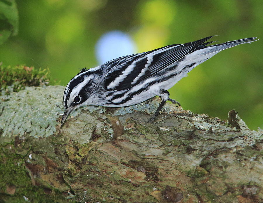 Black and White Warbler by Dead Cypress Photography