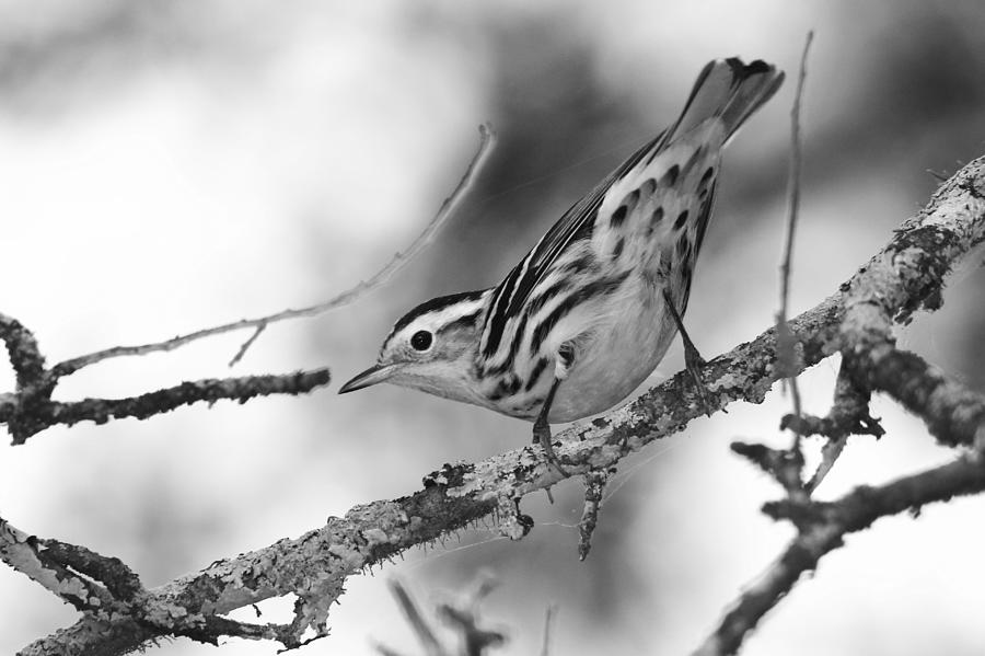 Black and White Warbler in Black and White by Dead Cypress Photography