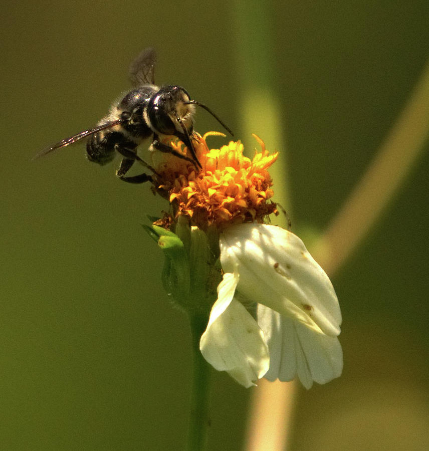 Black and Yellow Bee Pollinating by Vincent Billotto