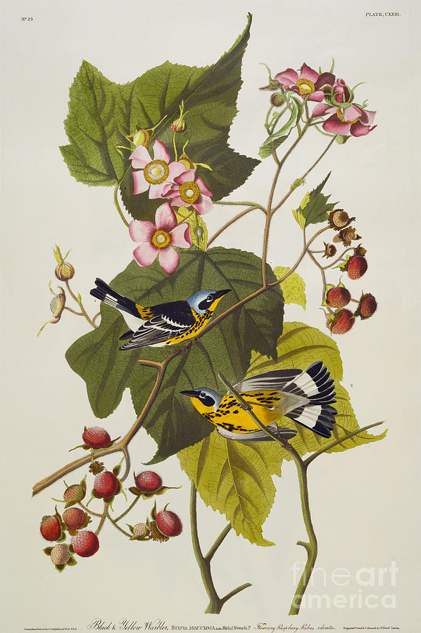 Audubon Drawing - Black And Yellow Warbler by John James Audubon