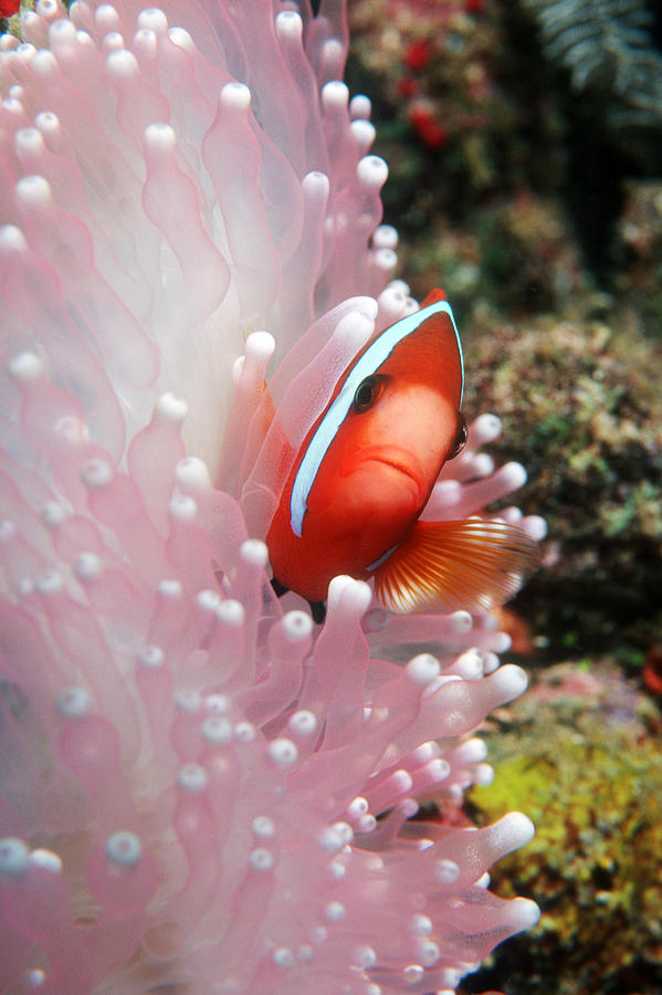 Fire Clownfish Photograph - Black Anemone Fish by Georgette Douwma