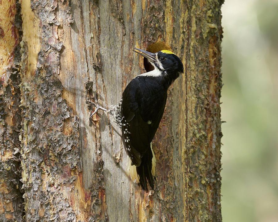 Bird Photograph - Black-backed Woodpecker by Doug Herr