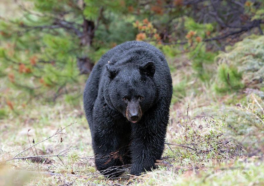 Black Bear 2016 by Shannon Carson
