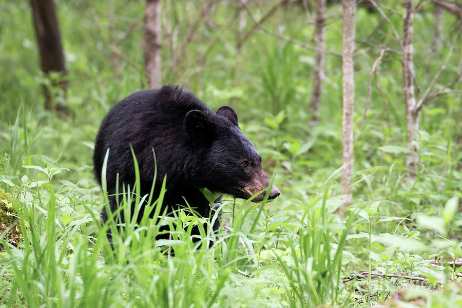 Black Bear by Andrea Silies