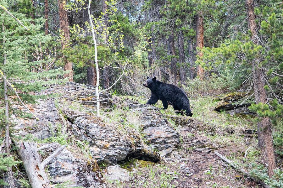 Black Bear at Johnston Canyon by M C Hood