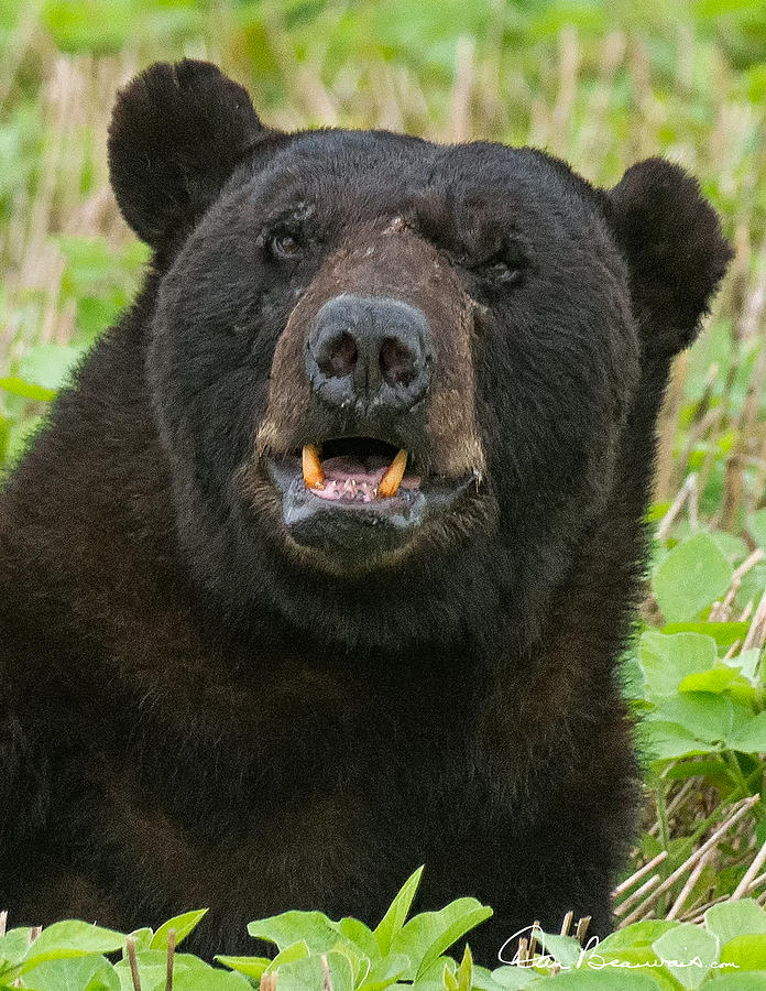 Black Bear Boar 7467 Photograph