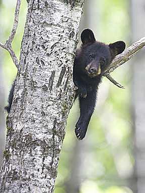 Black Bear Cub - Just Hanging Around Photograph by Celeste  Steele