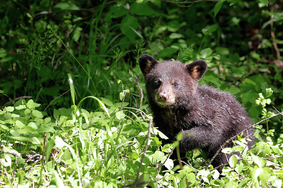 Black Bear Cub by Nicholas Blackwell