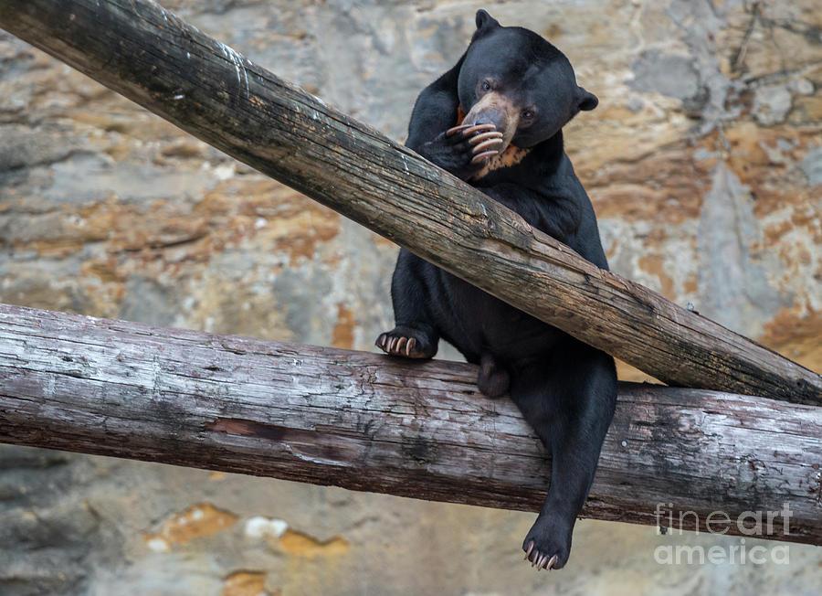 Usa Photograph - Black Bear Cub Sitting On Tree Trunk by PorqueNo Studios