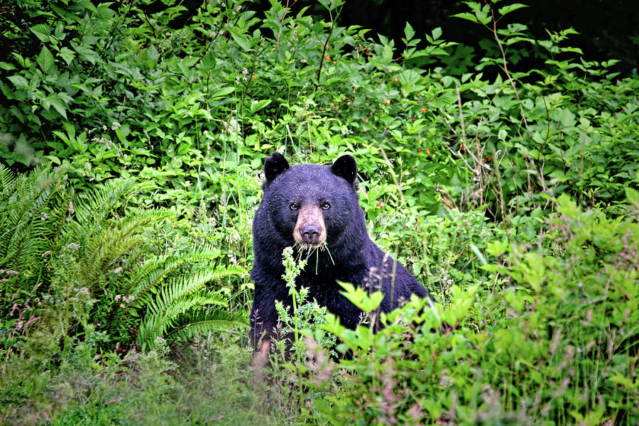 Bears Photograph - Black Bear Eating His Veggies by Peggy Collins