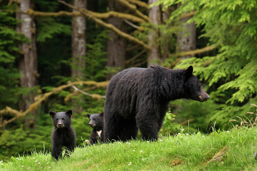 A Bears Quest for Food | Wise About Bears |Funny Black Bear Family