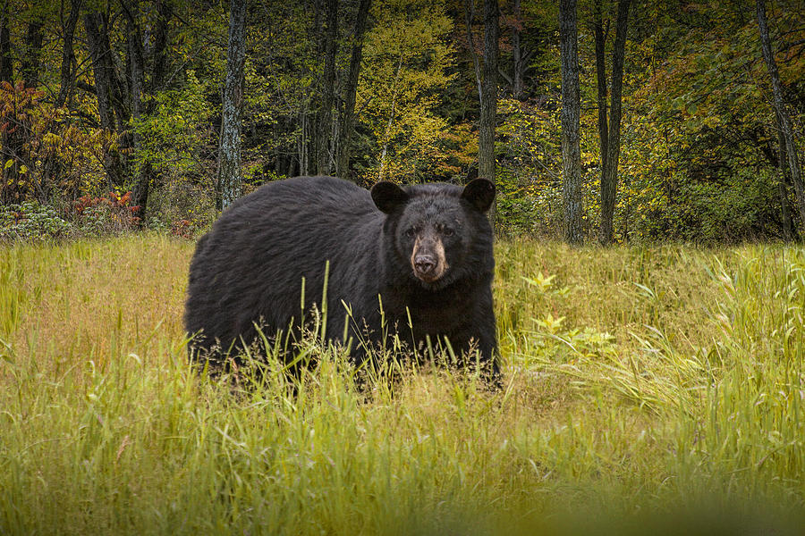 Wildlife Photograph - Black Bear In The Grass by Randall Nyhof